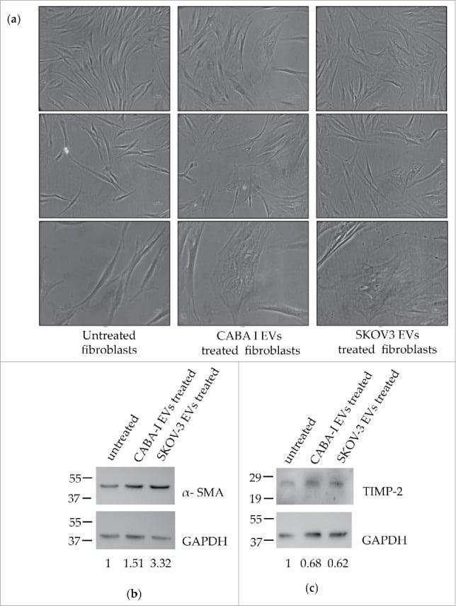 TIMP2 Antibody