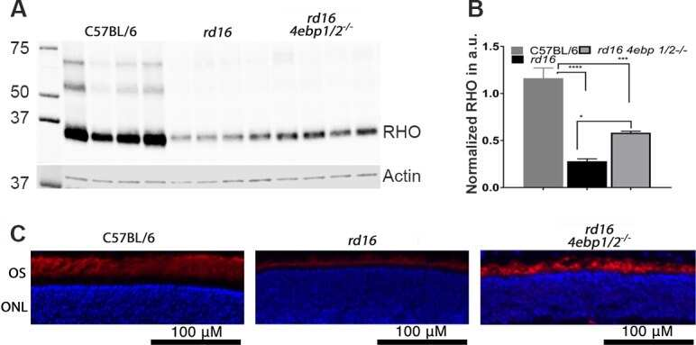 Rhodopsin Antibody