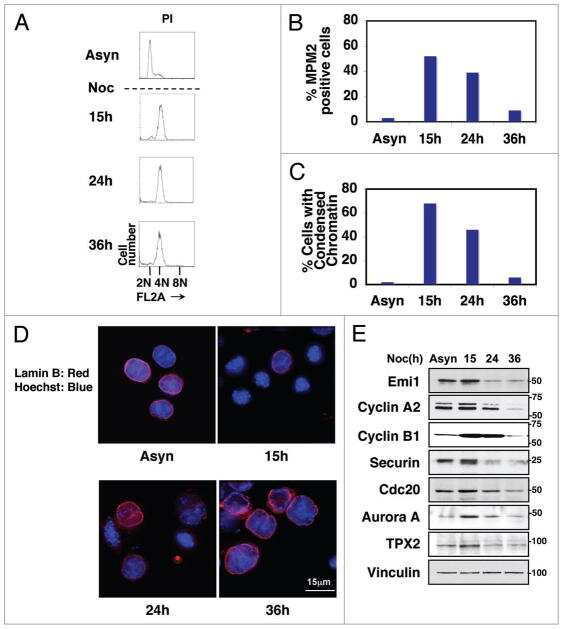 FBXO5 Antibody