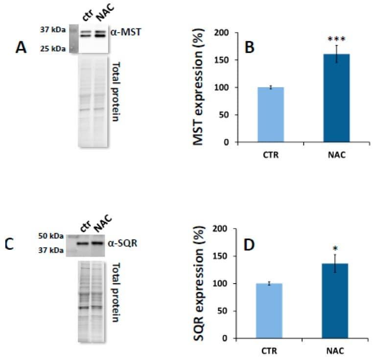 MPST Antibody
