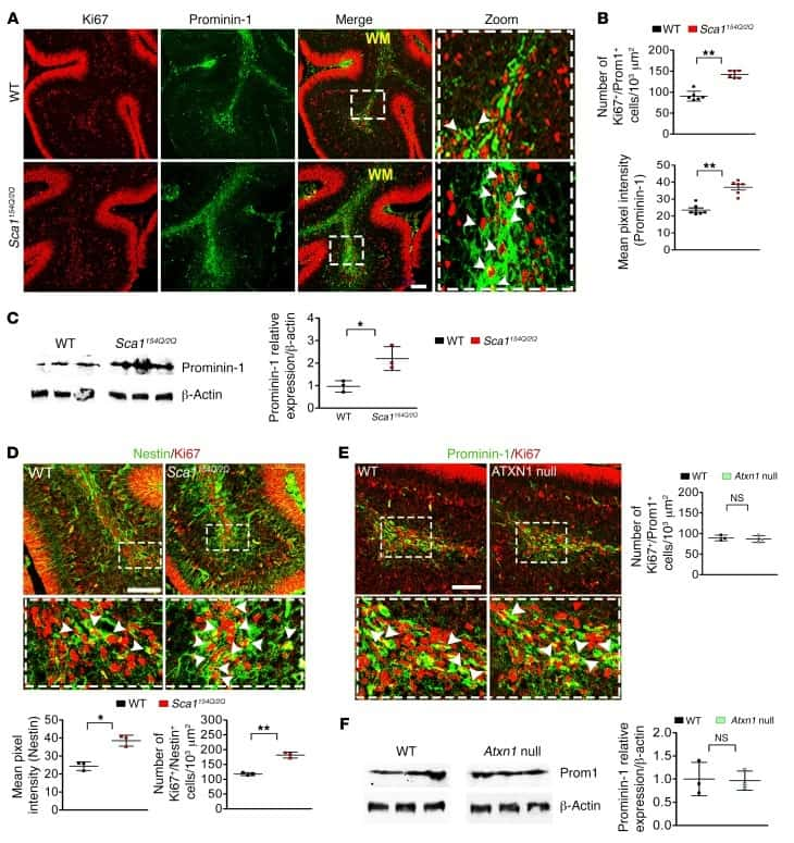 CD133 (Prominin-1) Antibody in Western Blot, Immunohistochemistry (WB, IHC)