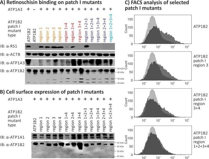 ATP1B2 Antibody in Western Blot, Flow Cytometry (WB, Flow)