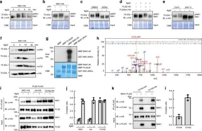 HMGB1 Antibody