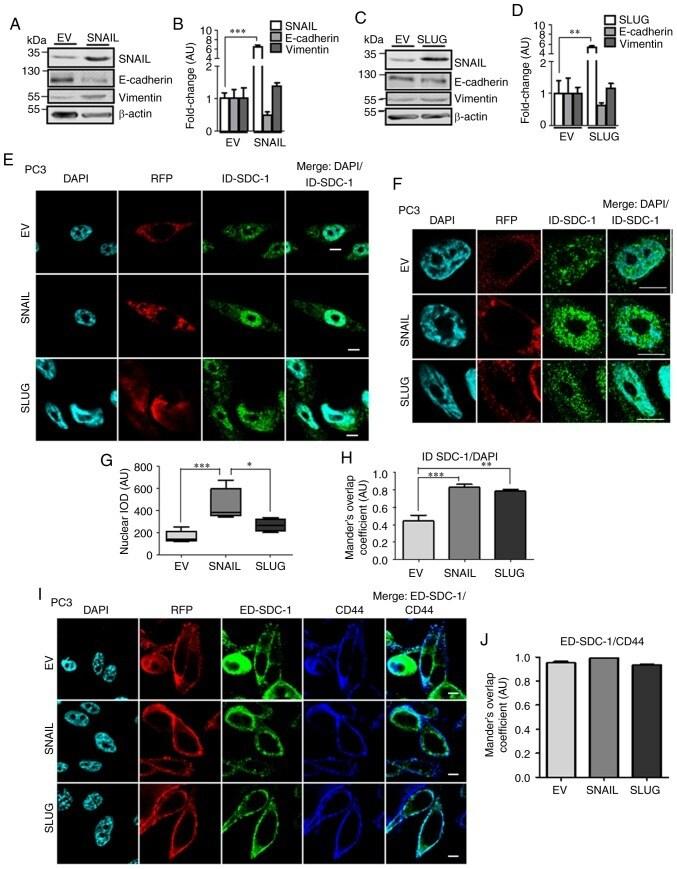 CD138 Antibody in Immunocytochemistry, Immunohistochemistry (ICC/IF, IHC)