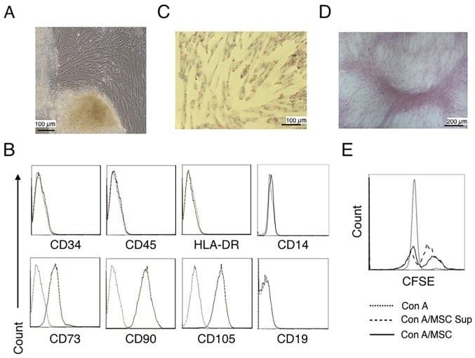 CD90 (Thy-1) Antibody