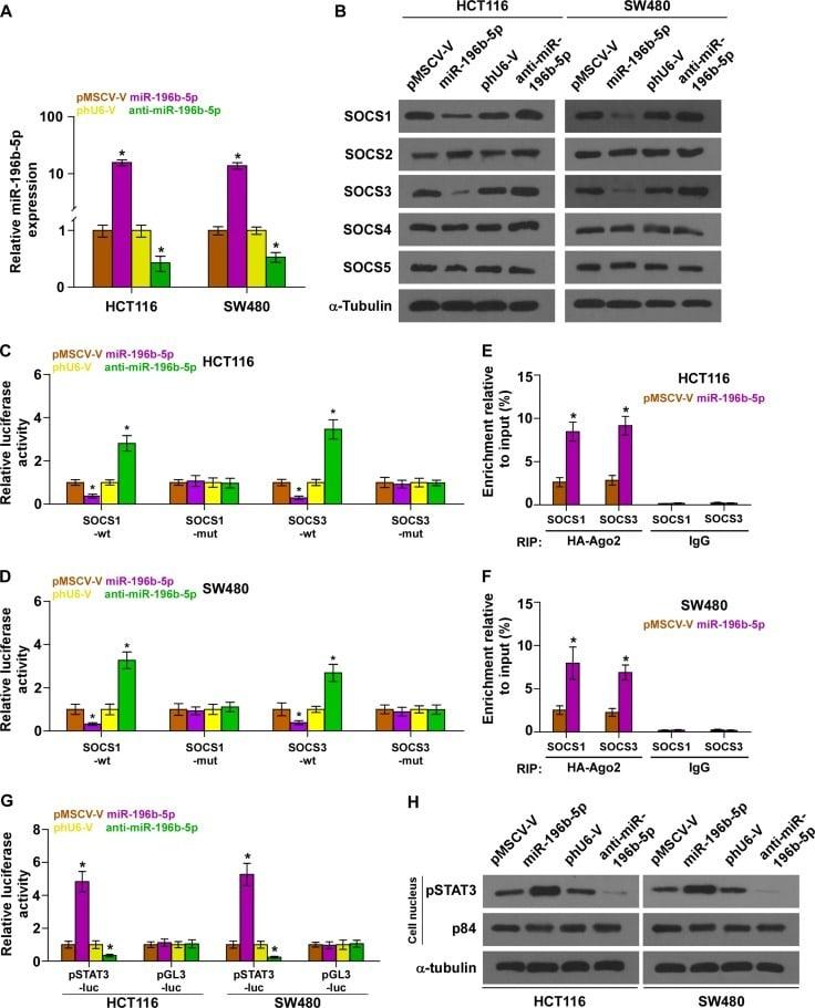 SOCS5 Antibody in Western Blot (WB)