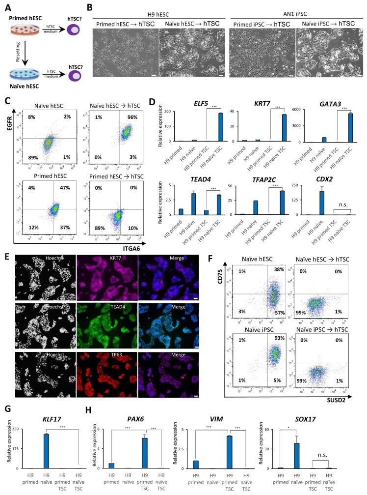 CD75 Antibody