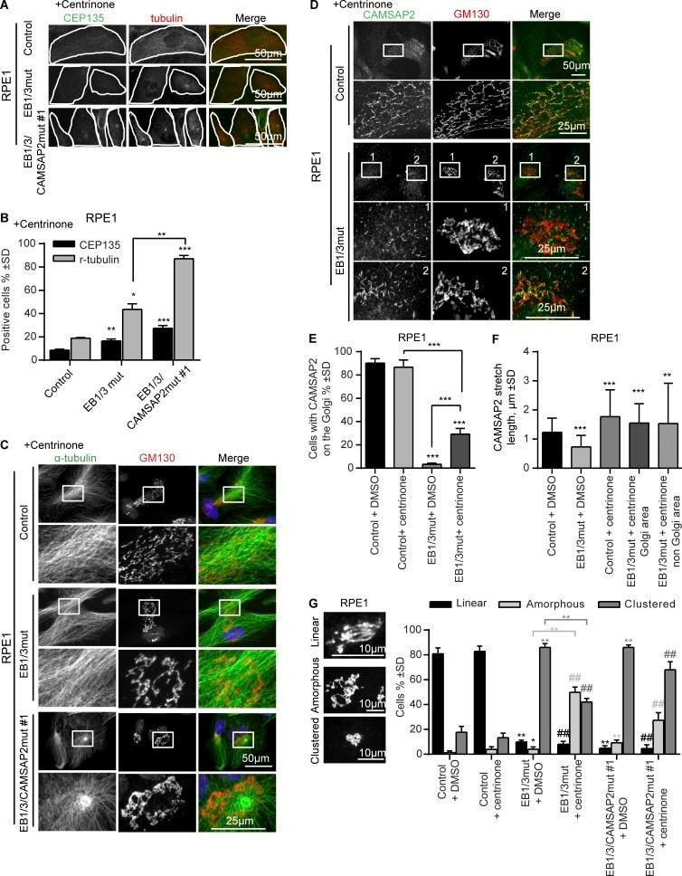 alpha Tubulin Antibody in Immunocytochemistry (ICC/IF)