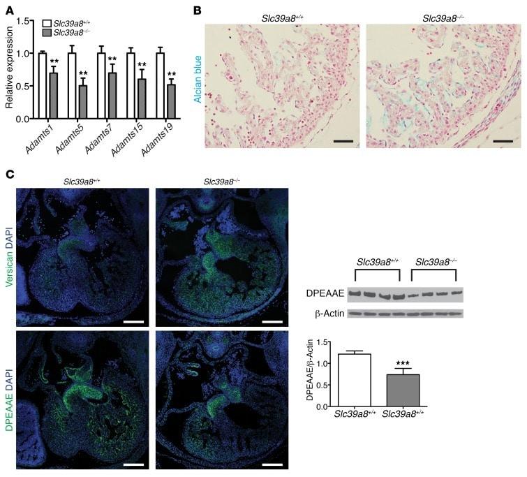 Phospho-Histone H3 (Ser10) Antibody