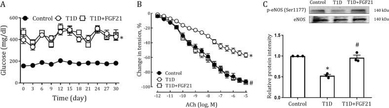 Phospho-eNOS (Ser1177) Antibody
