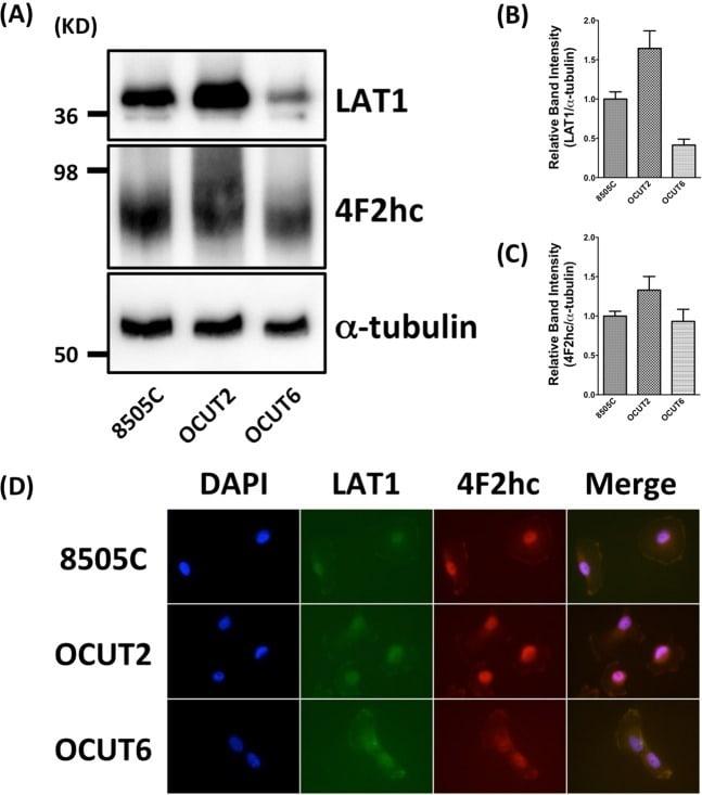 SLC7A5 Antibody in Immunocytochemistry (ICC/IF)