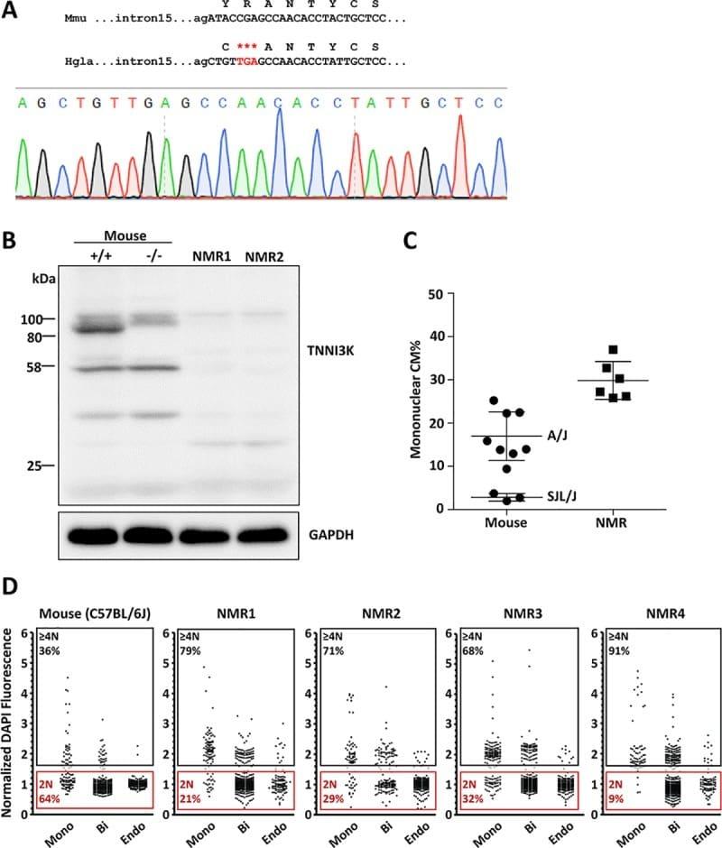 TNNI3K Antibody