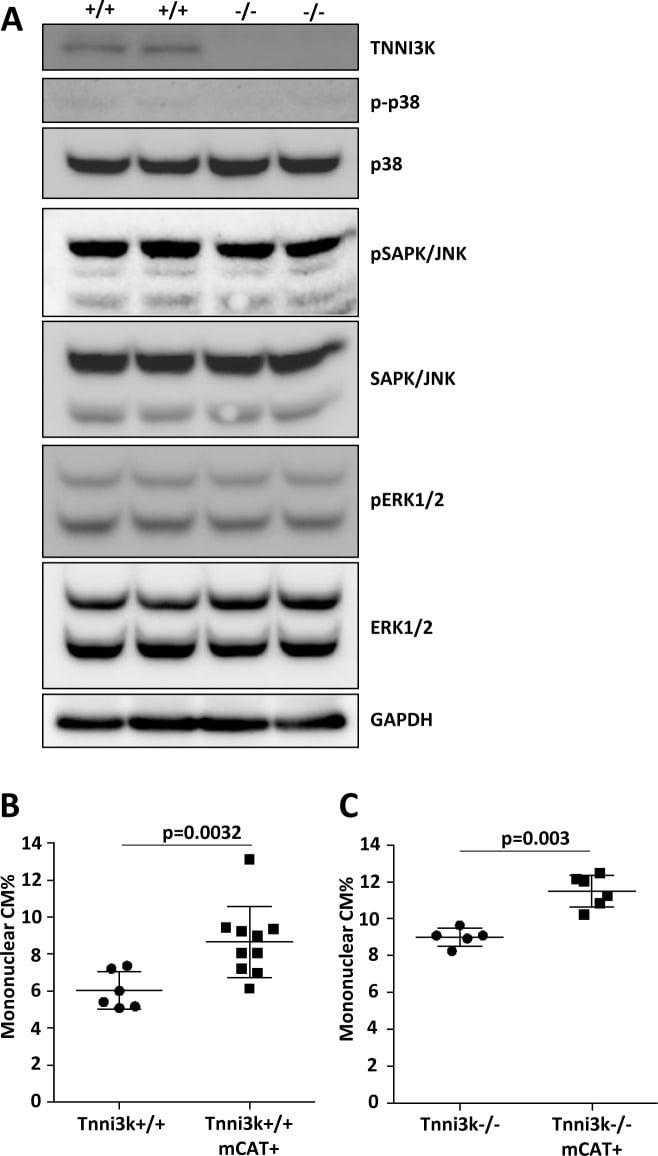 Phospho-Tau (Ser262) Antibody
