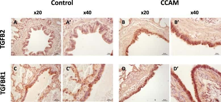 beta Actin Loading Control Antibody