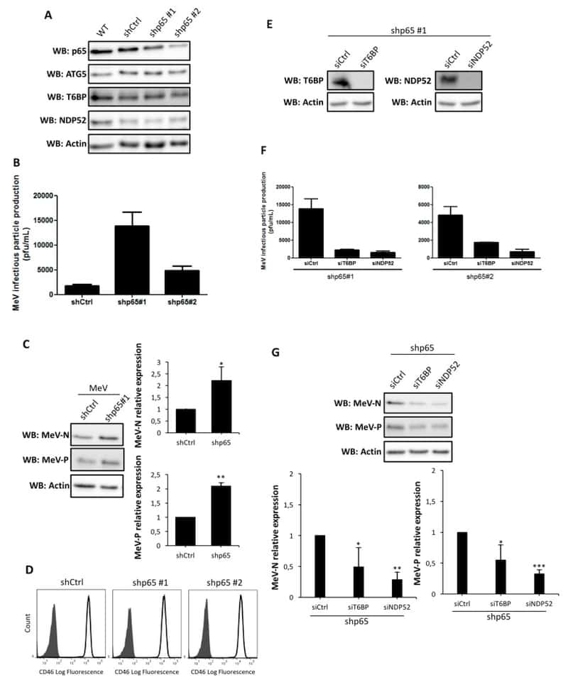 CD46 Antibody