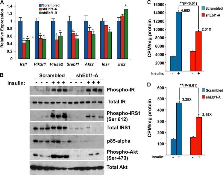 Phospho-IR/IGF1R (Tyr1162, Tyr1163) Antibody