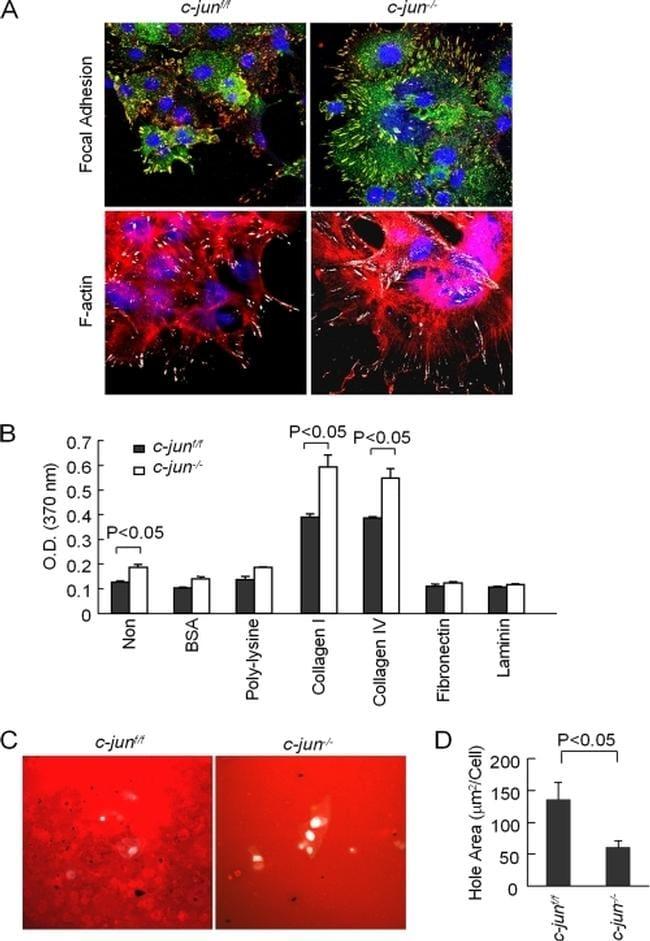 Phospho-Paxillin (Tyr118) Antibody