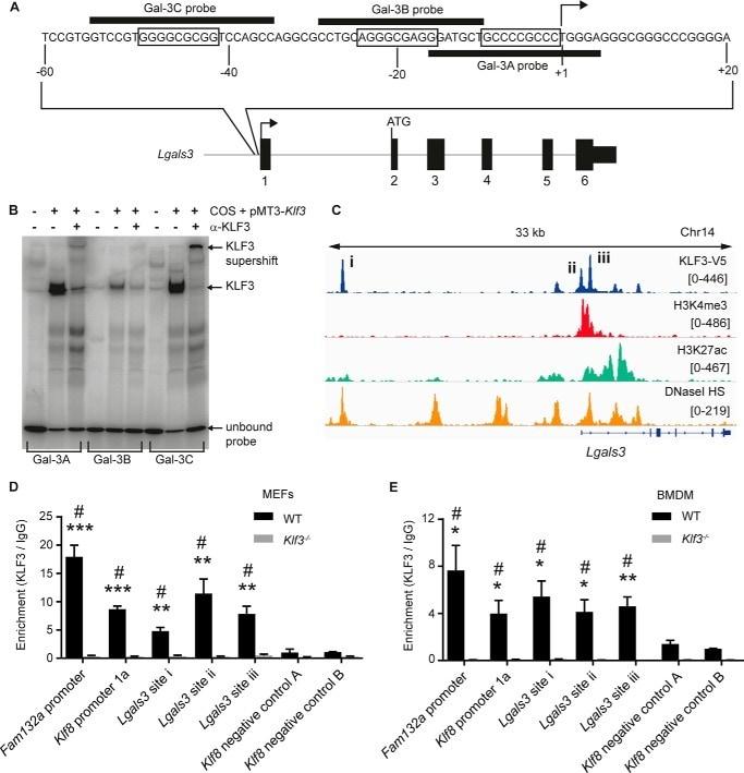 KLF3 Antibody