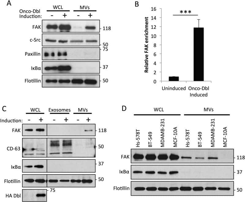 CD63 Antibody