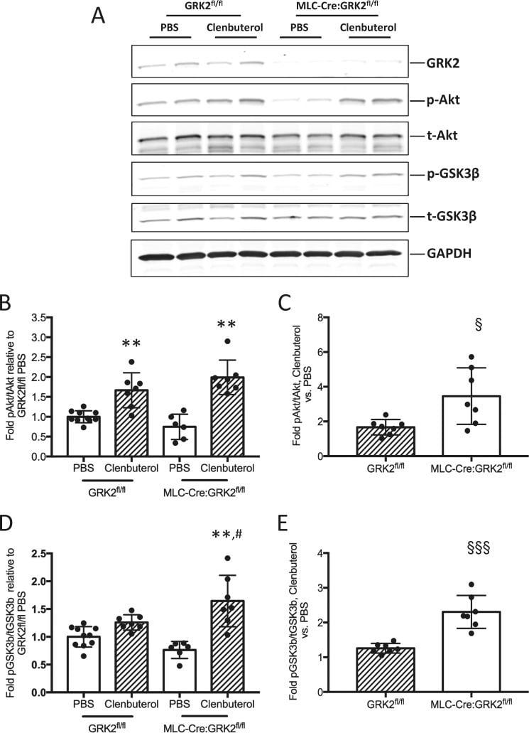 GSK3 alpha/beta Antibody