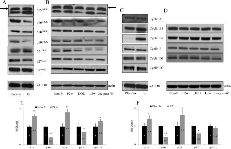 CDKN2C Antibody
