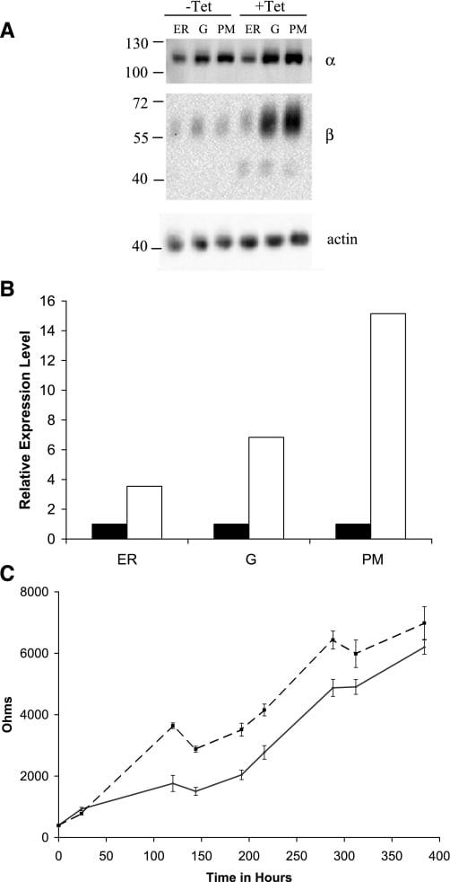 ATP1A1 Antibody