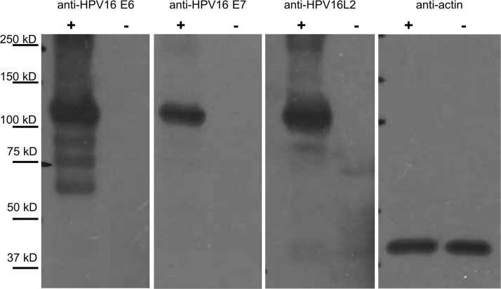 HPV Type 16 E7 Antibody