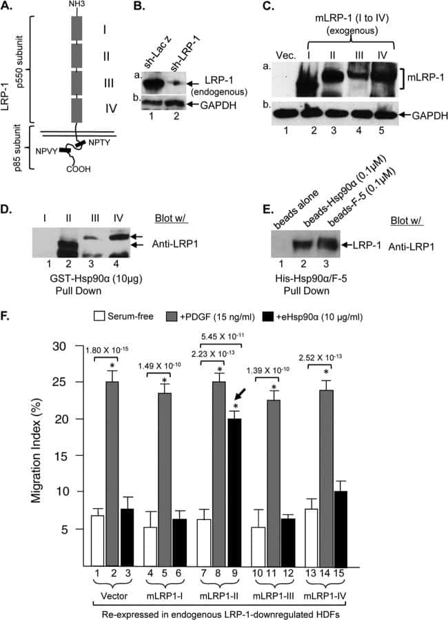 LRP1 Antibody